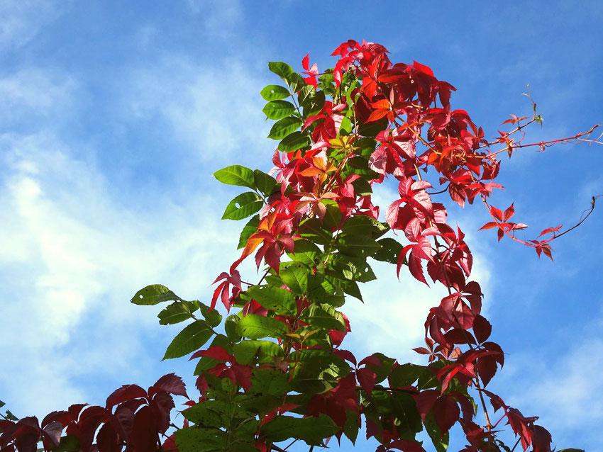vigne rouge sur ciel bleu et nuages
