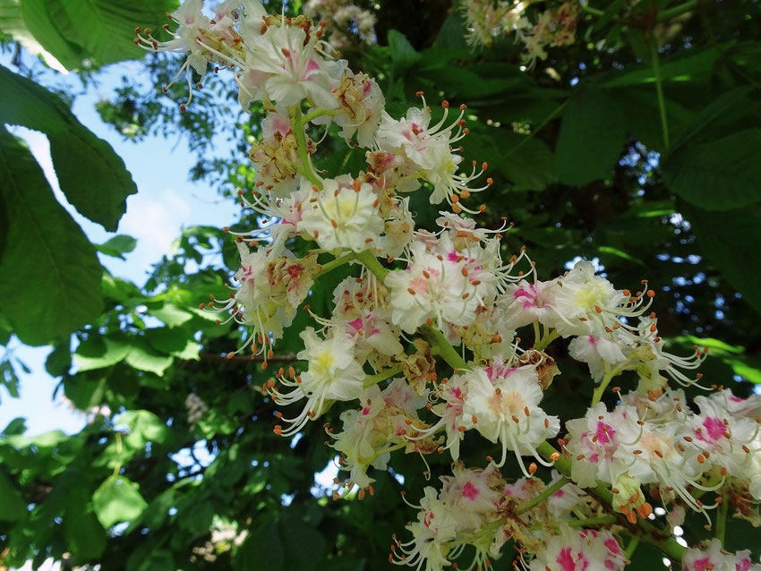 fleurs de marronnier