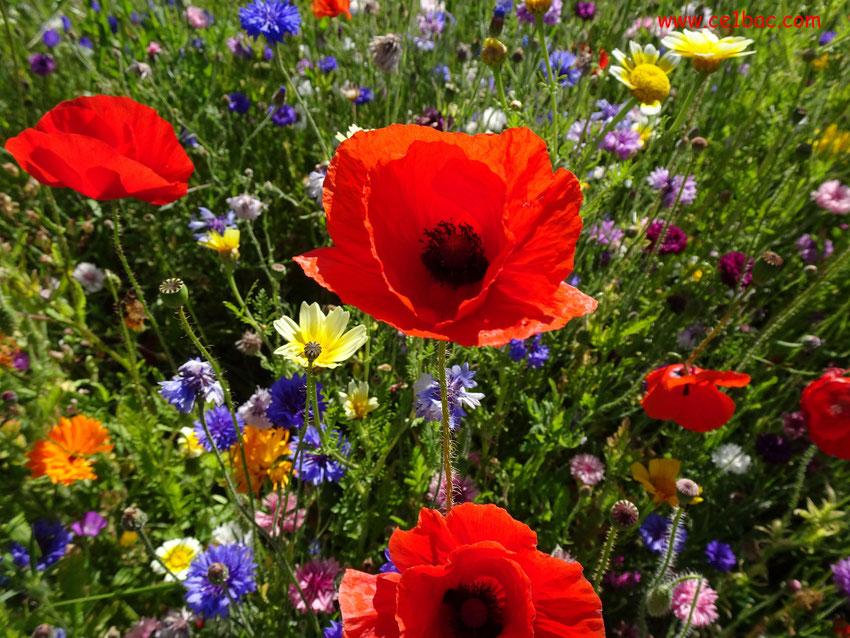 pavot et fleurs variées en bord de route en été