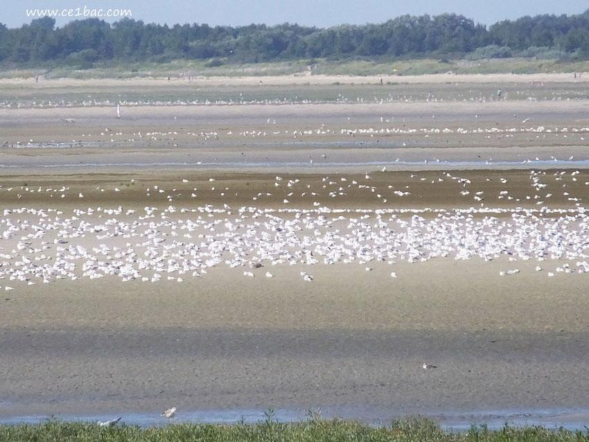 Les oiseaux en Baie de Somme