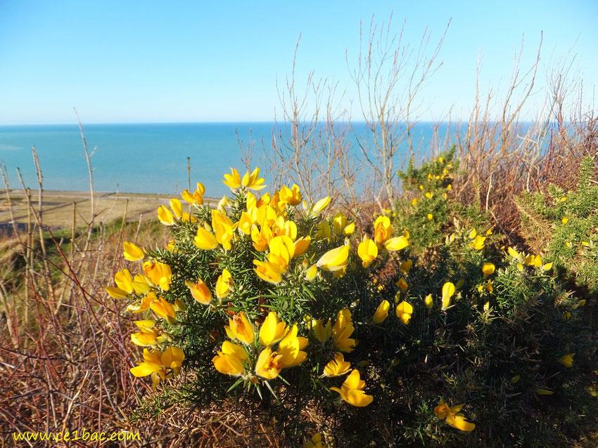 buisson aux fleurs jaunes sur la falaiseà Penly