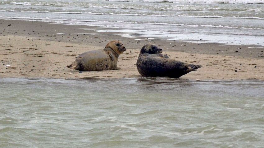 Les phoques veaux marins au Hourdel