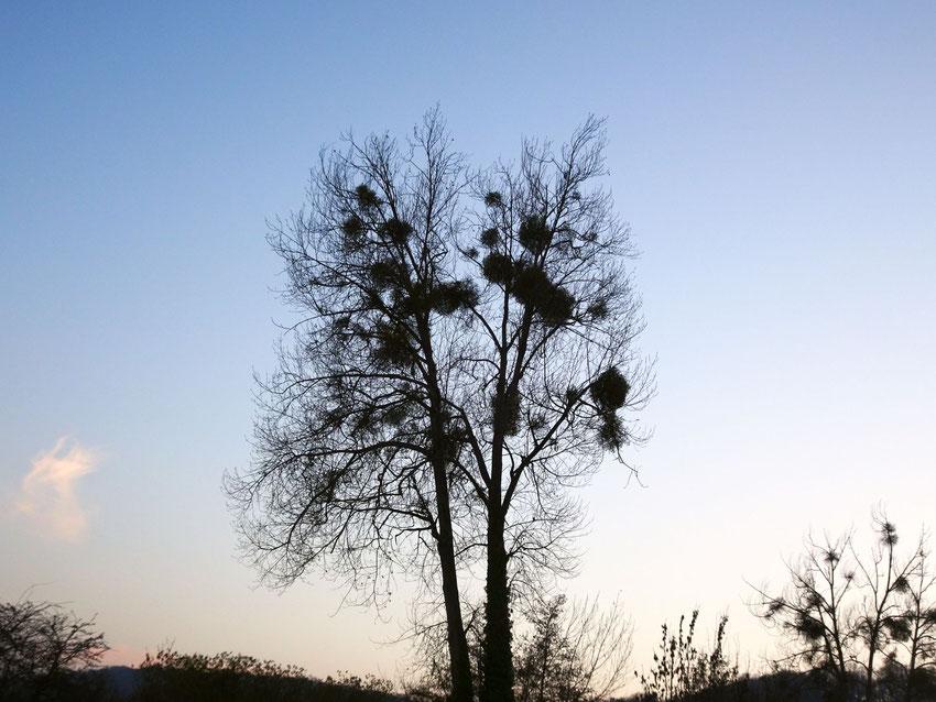 boules de gui dans un arbre