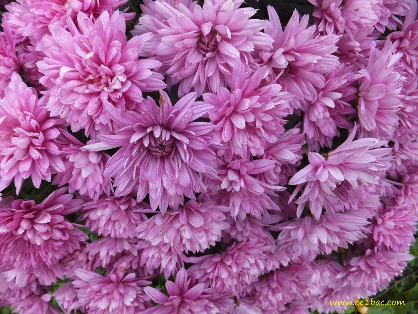 Fleurs rose délavé de la famille des chrysanthèmes