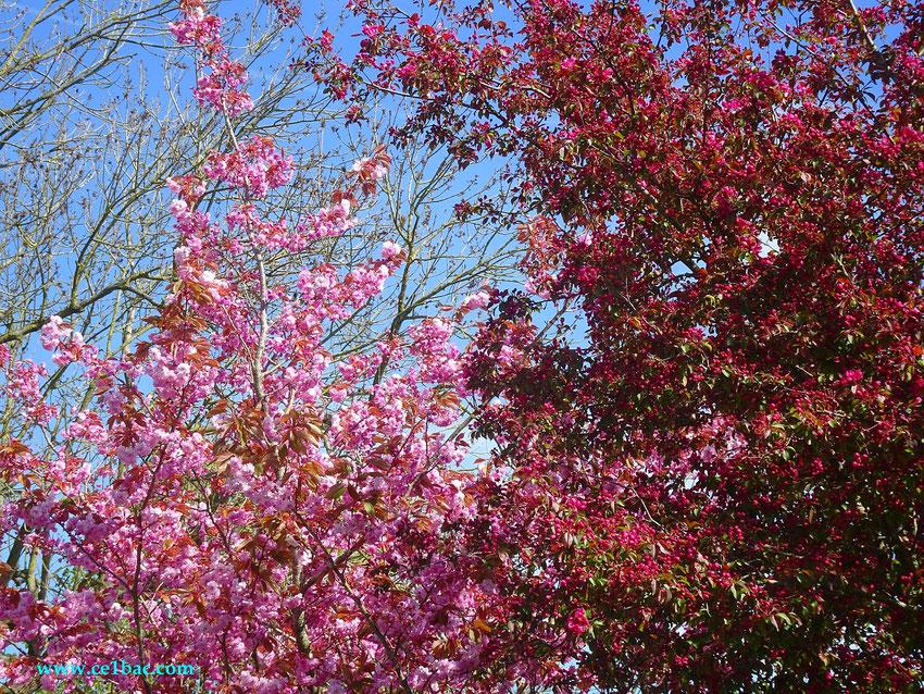 fleurs roses fin avril