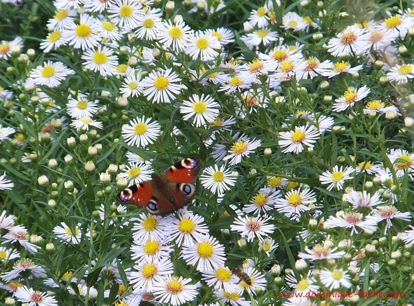 papillon sur un champ de marguerites