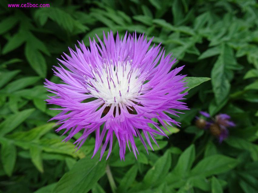 fleur aux pétales très fins, violets, coeur blanc
