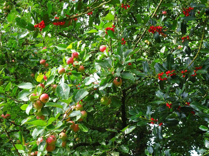 Pommes et baies rouges
