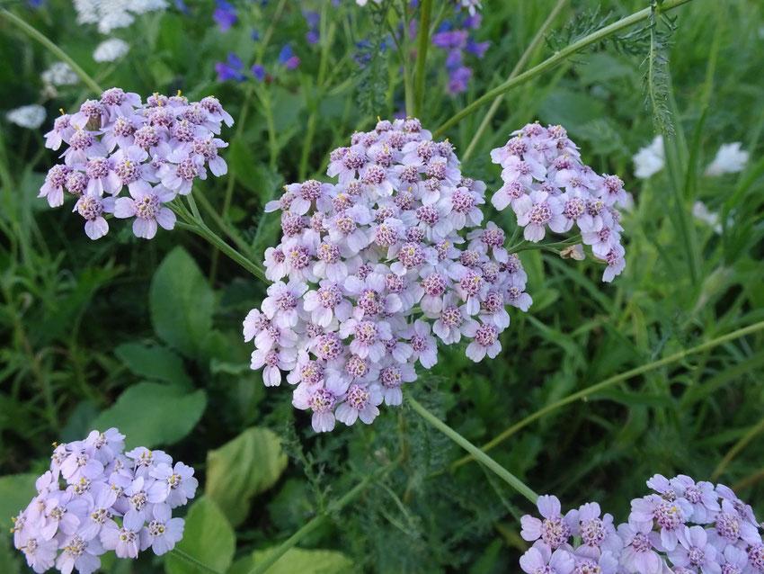 fleur violet délavé