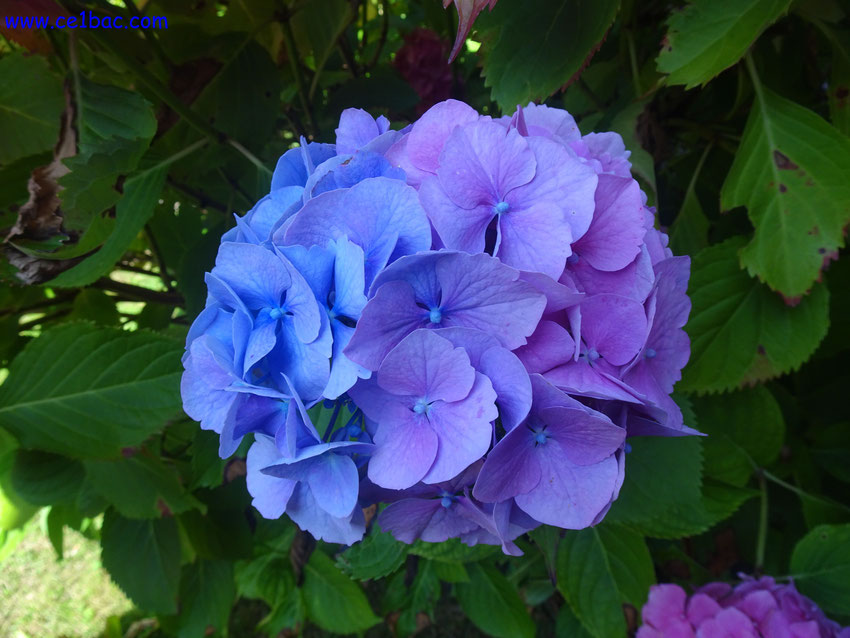 hortensia bleu violet