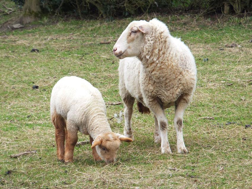 Presse tes blancs moutons