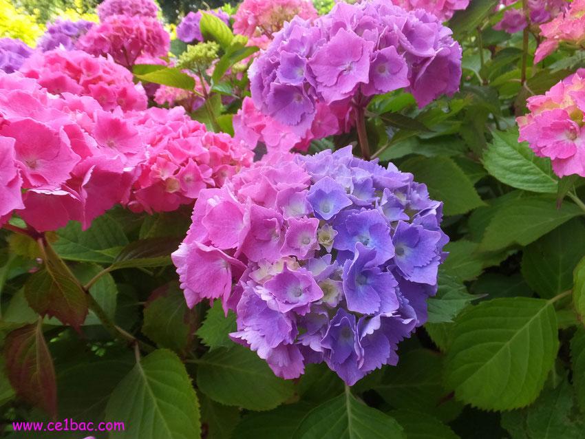 hortensia rose et mauve