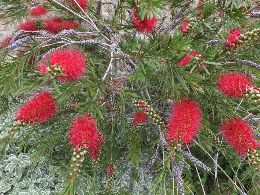 massif de délicates fleurs rouges