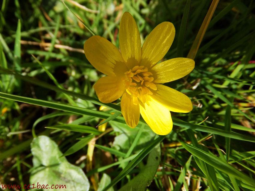 fleur d'un jaune d'or à Bracquemont