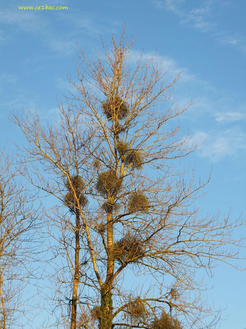gui sur les arbres en hiver