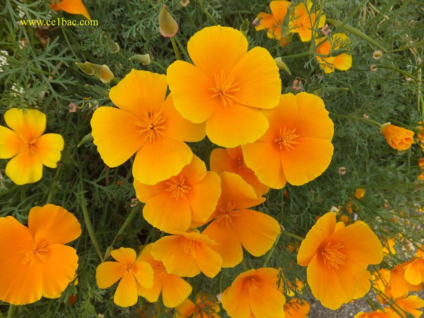 fleur printanière aux pétales oranges