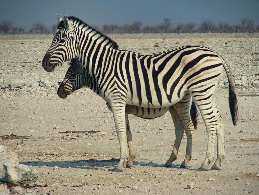 Zebras gibt es nur in Afrika - und ich denke, sie sind weiss mit schwarzen Streifen:-)
