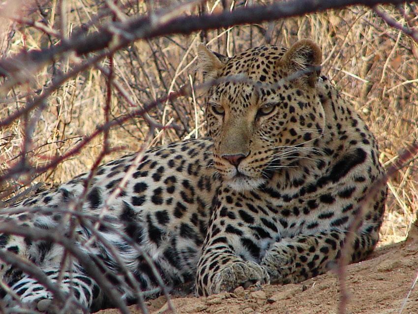 Der 1. Leopard, der heute noch bei uns im Wohnzimmer auf Leinwand-Druck (100x75) hängt.