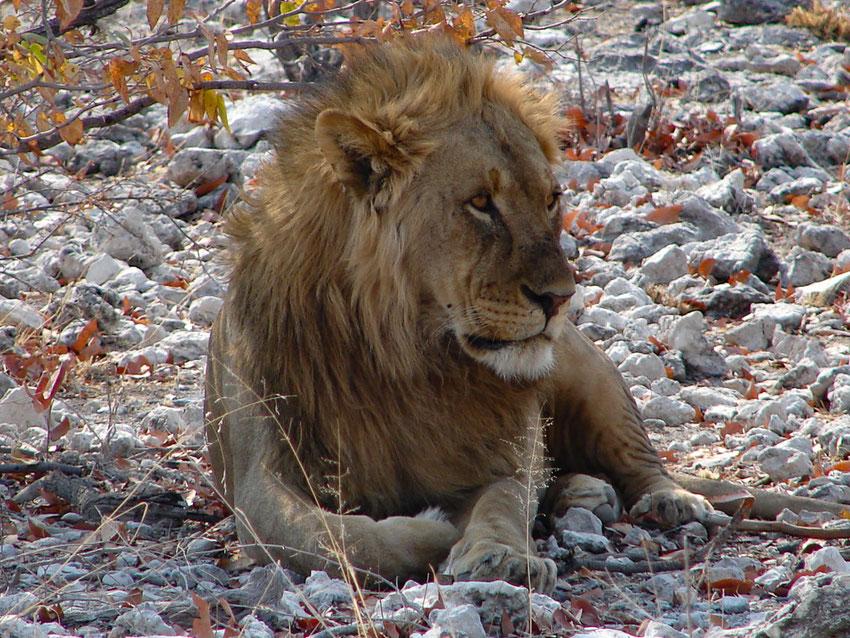 Der erste Löwe in freier Wildbahn und dann auch noch ein schönes Männchen... klick...