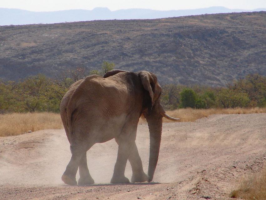 Wüstenelefanten haben sich an die trockene Landschaft angepasst um zu überleben. Gerade mal 400mm Regen fällt pro Jahr in Namibia.