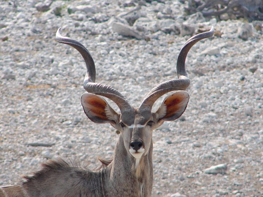 Der grosse Kudu mit seinem stattlichen Geweih. Eine der unzähligen Antilopenarten in Afrika.