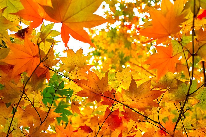 養老公園|岐阜県養老町|秋の紅葉・紅葉狩り