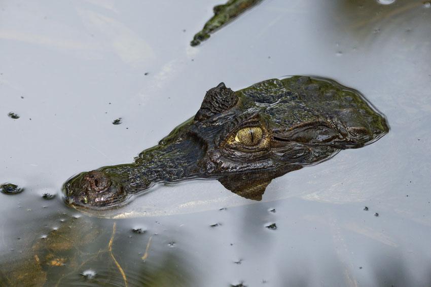 Brillenkaiman (Caiman crocodilus)