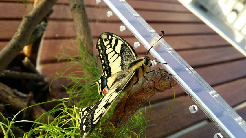 Papilio machaon mit bereits voll entfalteten Flügeln