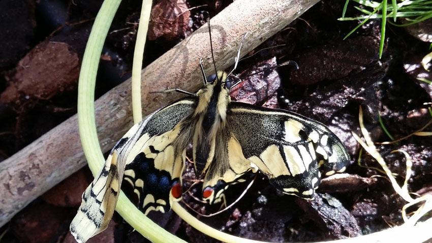 Papilio machaon mit erst teilweise entfalteten Flügeln