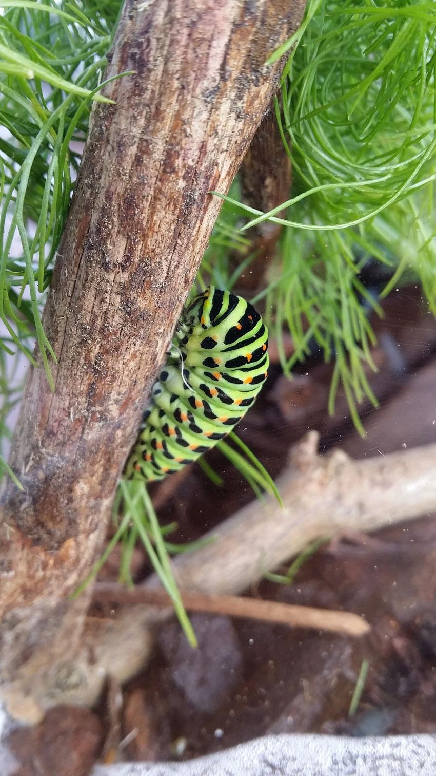 Schwalbenschwanz  (Papilio machaon) kurz vor der Verpuppung