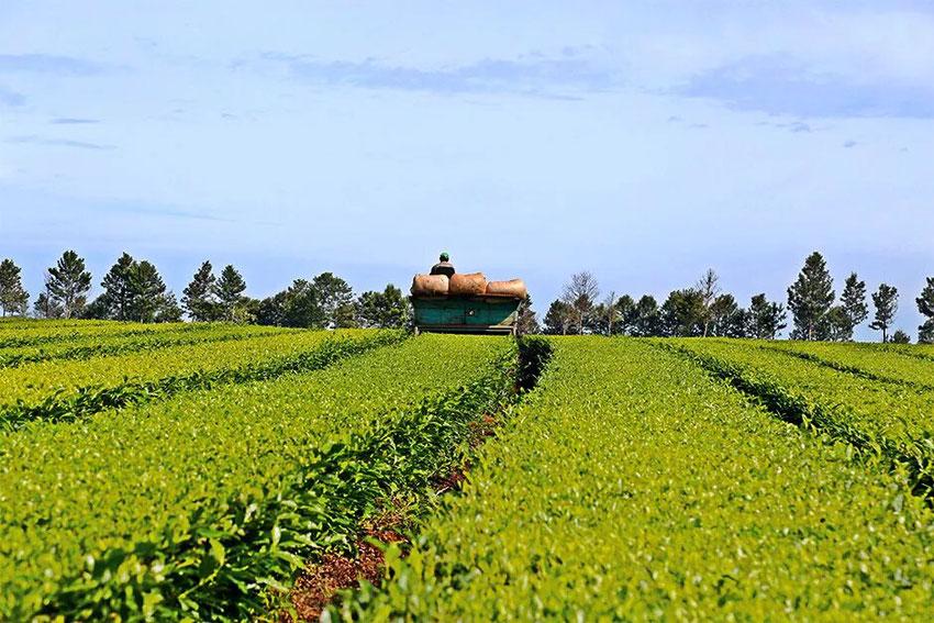 La producción tealera de Misiones está viviendo uno de sus mejores momentos históricos. Foto: Natalia Guerrero