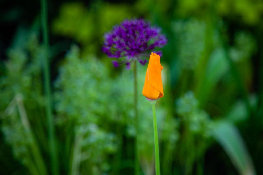 Kalifornischer Mohn und Allium