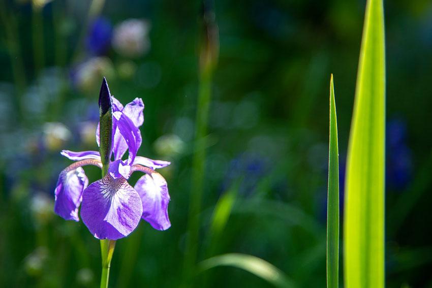 Wiesen-Iris