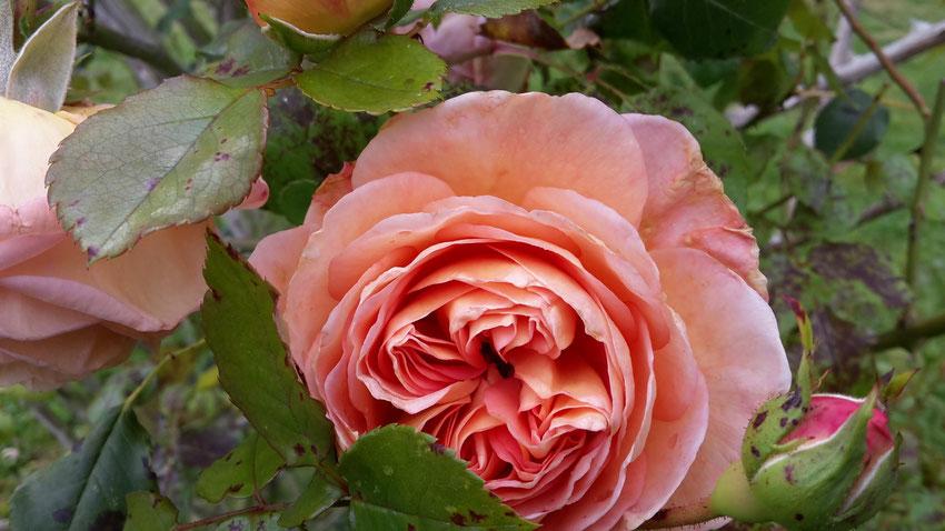 Rosenblüte, Herzöffnung, Liebe, Heilung, Ganzwerdung, Rosenduft, Schönheit, Sinnlichkeit, Weiblichkeit