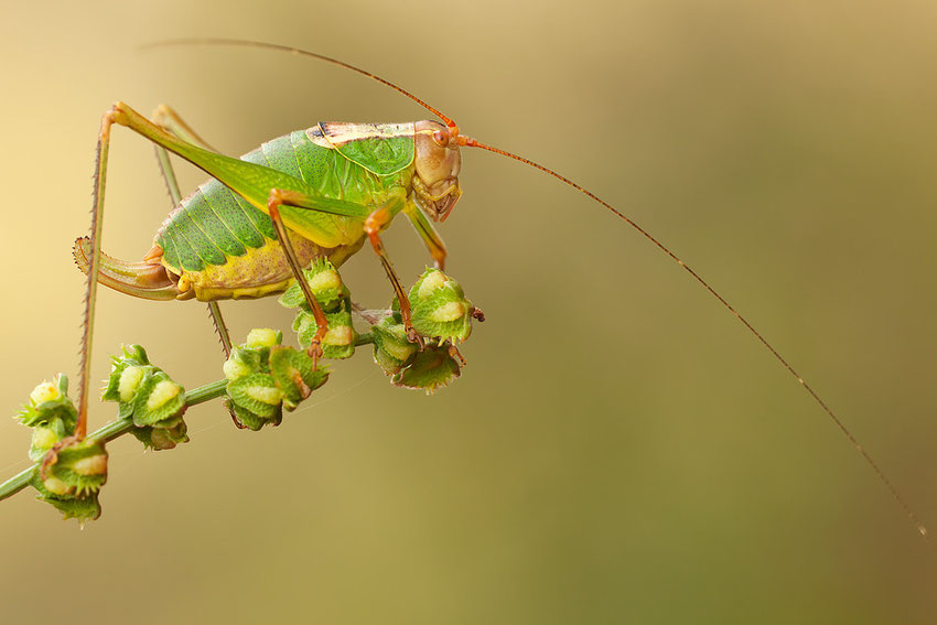 Ready to Jump on 1X.com      Orthoptera - Tettigoniidae - Leptophyes Puctatissima
