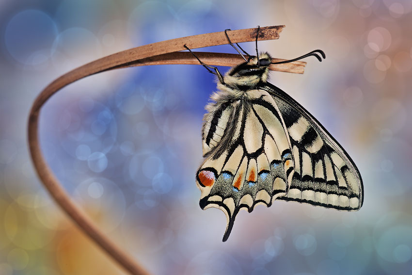 Macro World Fantasy - Papilion Machaon-