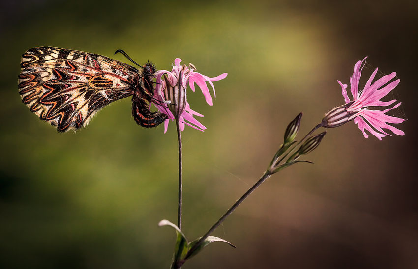 I love spring - Zerynthia Polyxena