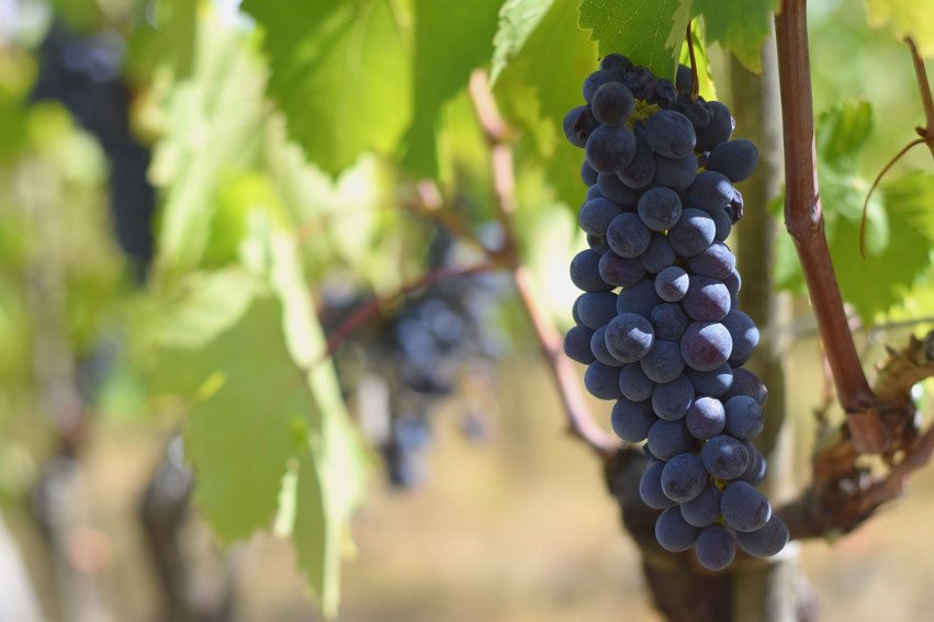 Weintrauben Toskana Italien