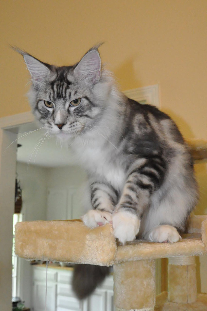 Progressive Near Me >> Charles of EuroCoons Maine Coon Cattery in Olathe KS ...