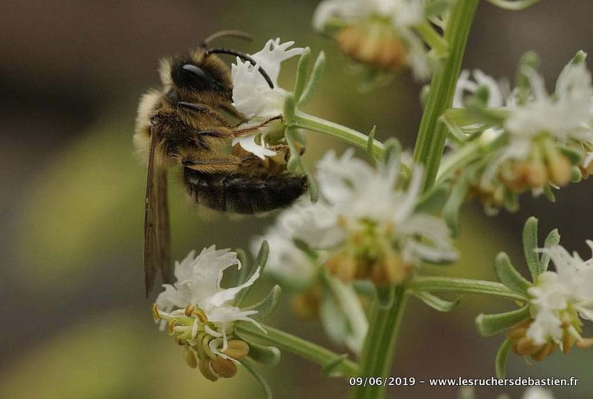 Abeille sauvage butine fleur de Réséda jacquinii Cevennes