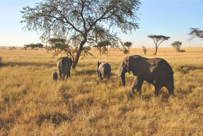 Serengeti Tansania Elefanten