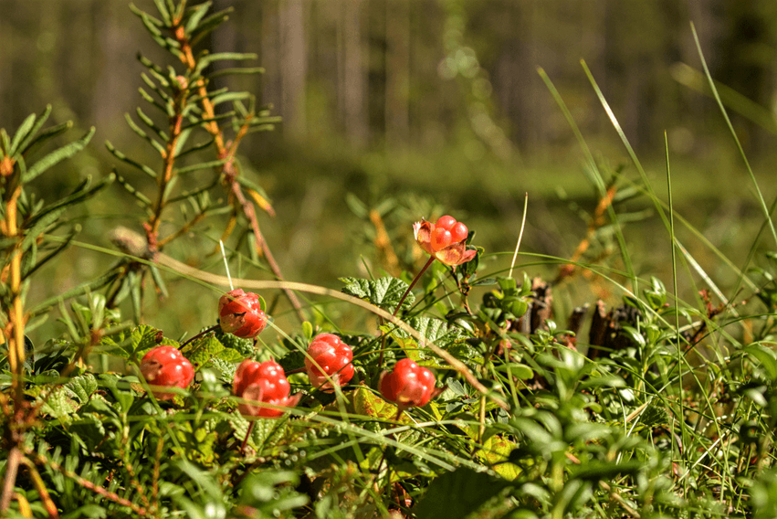 Moltebeeren Finnisch Lappland