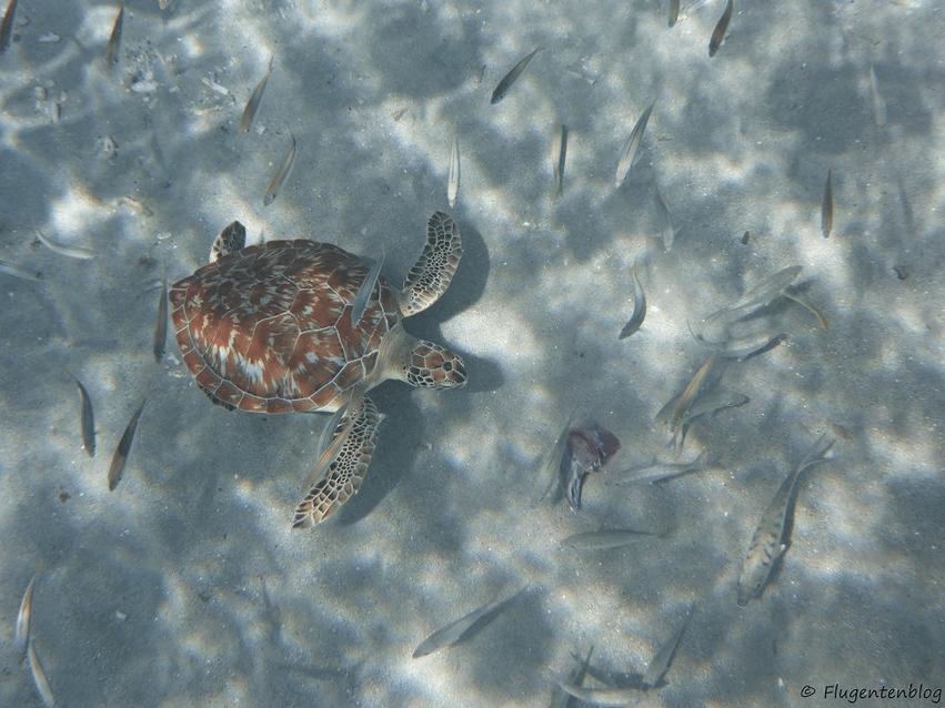 Curaçao Meeresschildkröten