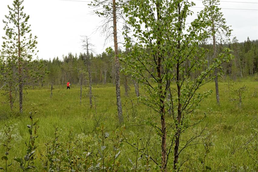Finnisch Lappland im Sommer Beeren sammeln