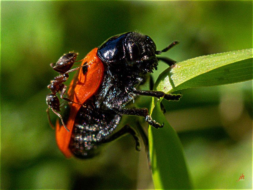 Kleine Tiere ganz groß! (Ameisensackkäfer (Clytra laeviuscula), auf Deutsch: die Ameise geht ihm auf den S.)