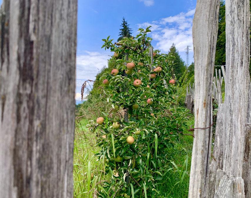 Apfelbaum auf dem Gebiet des Salten