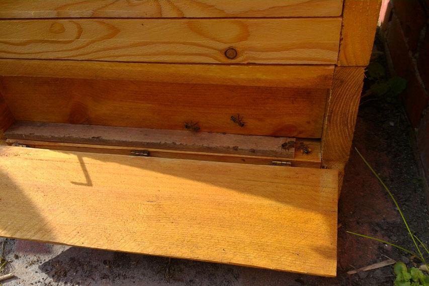 Fluglochverengung beim Ableger mittels Rähmchenleiste: Es reicht, wenn zwei Bienen passieren können.