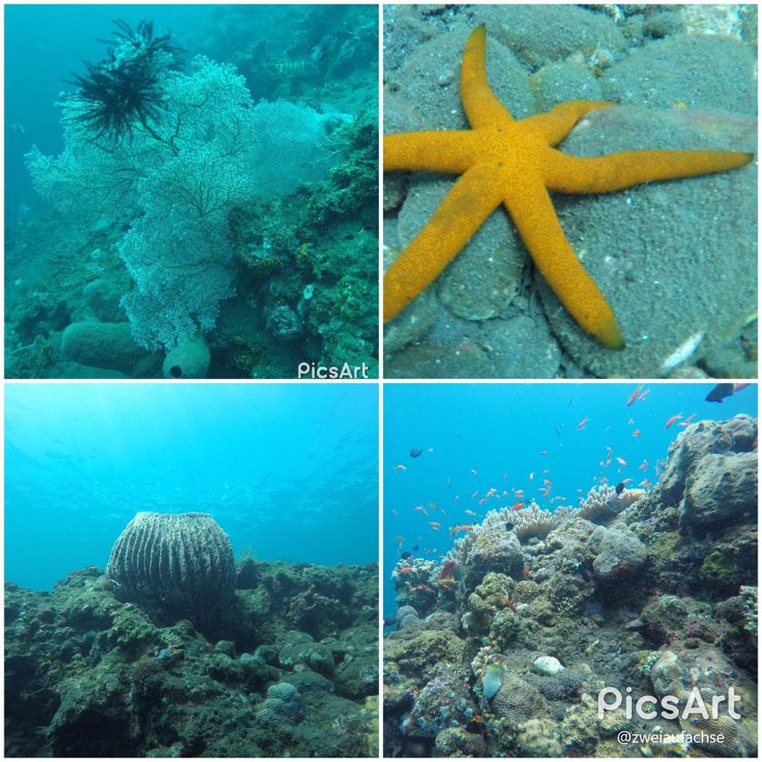 Bali 2017 erster Tauchgang Hausriff Fische Unterwassrwelt Stille Hart- und Weichkorallen Seestern Seesterne Tischkorallen