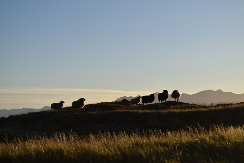 sheep at sunset, East Fjords, Iceland