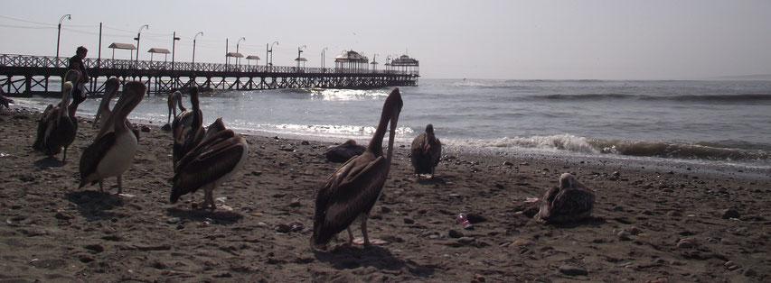 Huanchaco pelicans pier